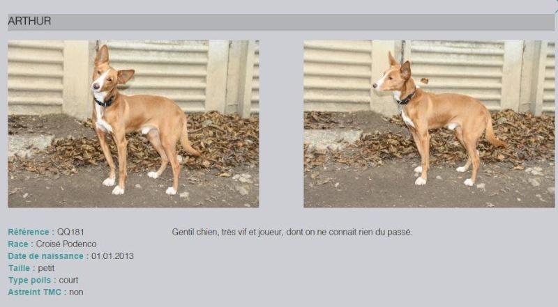 Un jeune podenco Arthur se trouve à la SPA de Genève (Suisse). Pas de puce enregistré en Suisse, selon nos infos. Arthur10