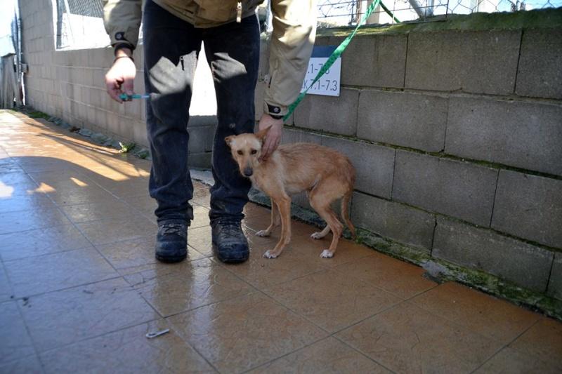Bambi ,petite podenca de poche !Adoptée  Bambi_15