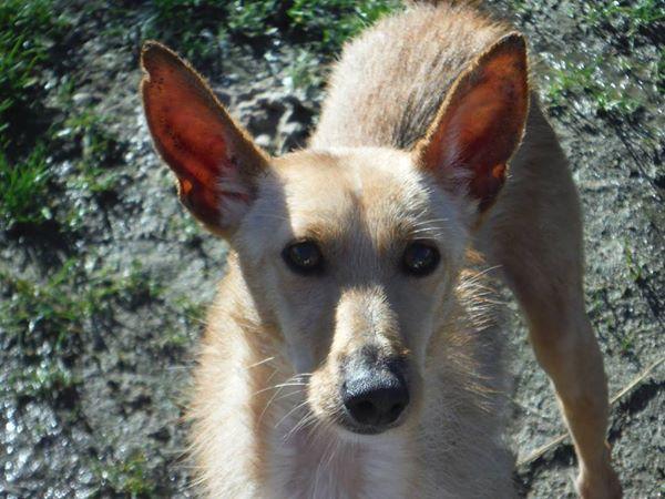 Bambi ,petite podenca de poche !Adoptée  Bambi_16
