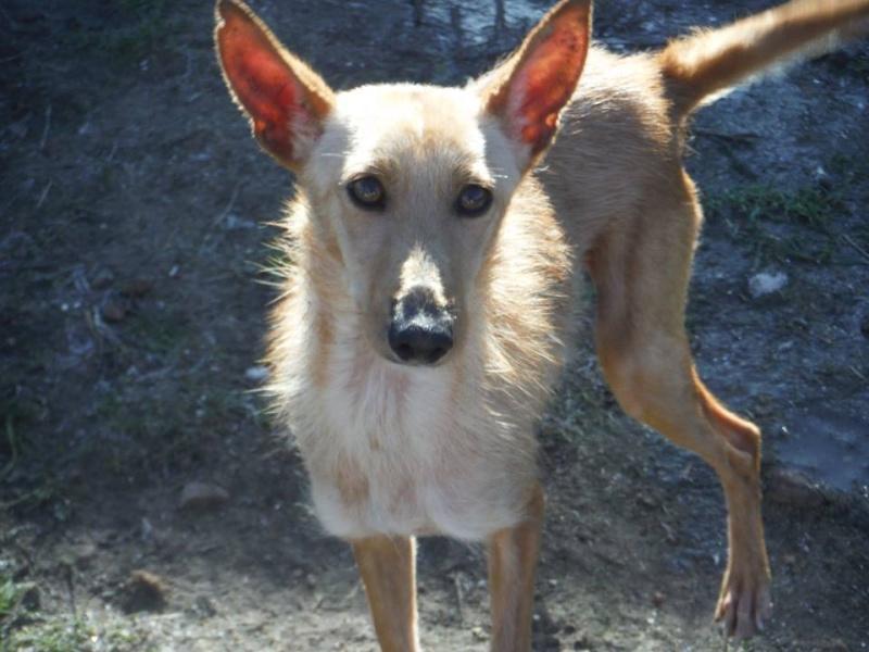 Bambi ,petite podenca de poche !Adoptée  Bambi_17