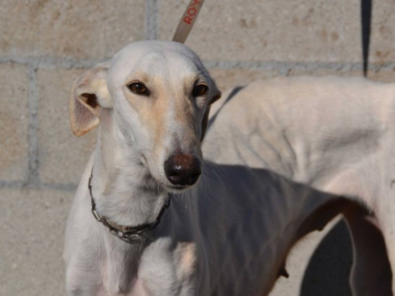 Bandolera galga blanche à l'adoption Adoptée  Bandol16
