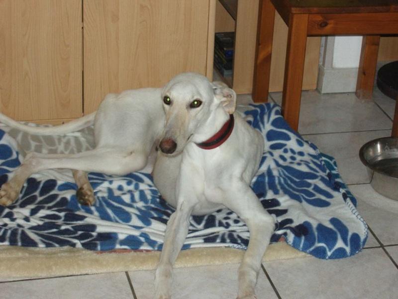 Bandolera galga blanche à l'adoption Adoptée  Bandol22