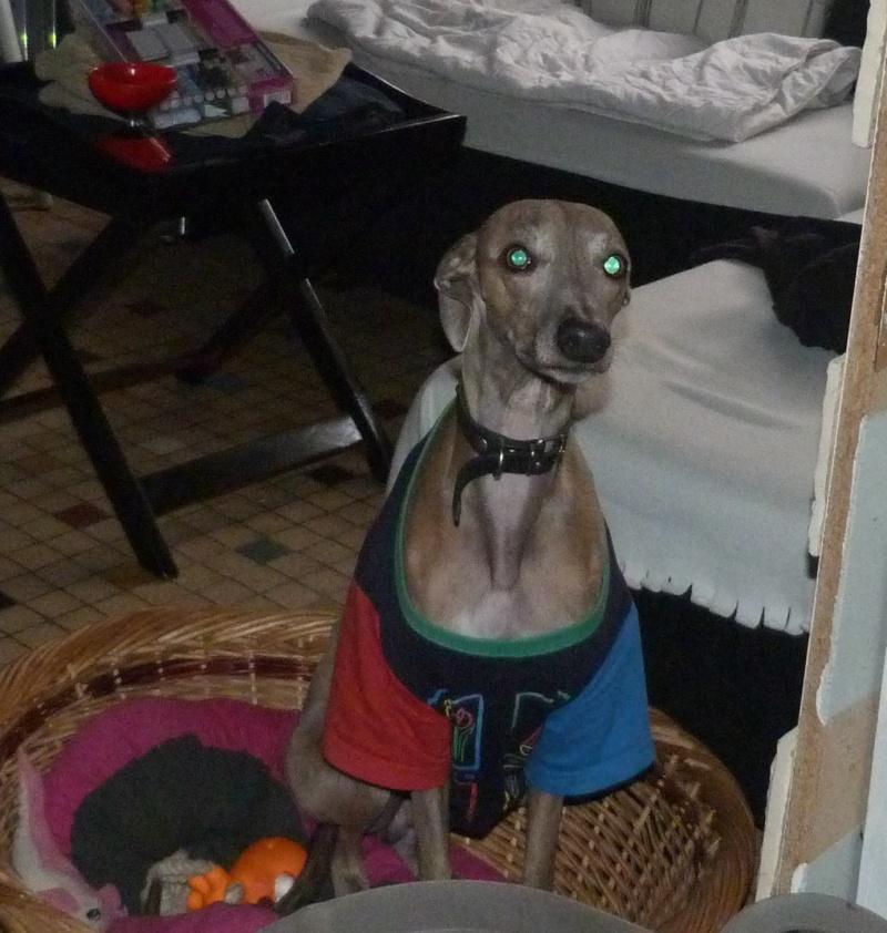Herley whippet à l'adoption Adopté  Herley15