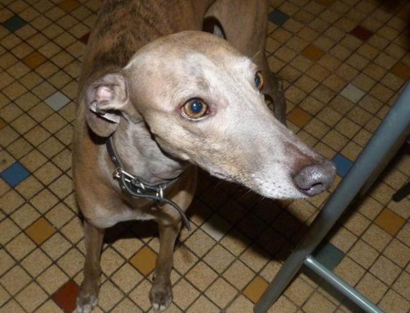 Herley whippet à l'adoption Adopté  Herley17