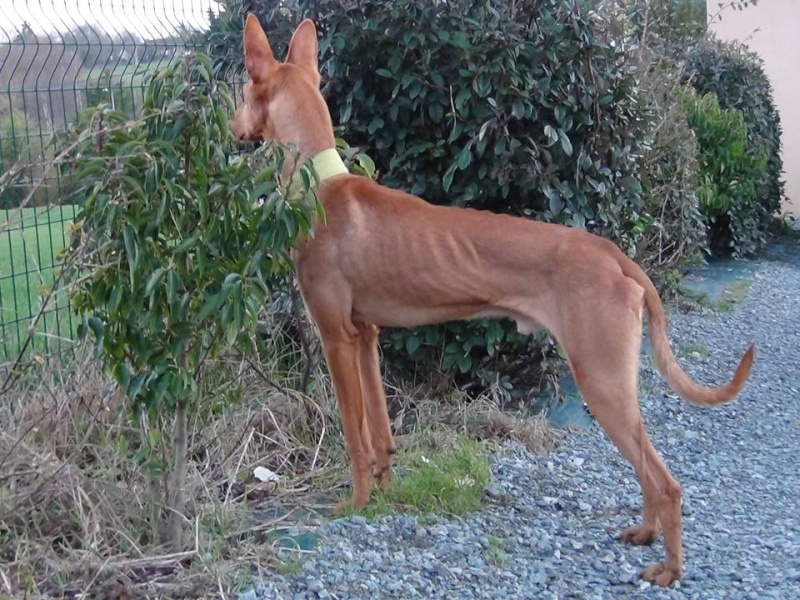 Vicente podenco à l'adoption Scooby France Adopté Vicent12