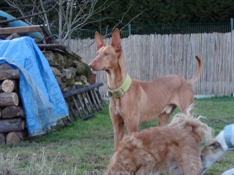 Vicente podenco à l'adoption Scooby France Adopté Vicent13