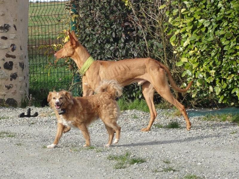 Vicente podenco à l'adoption Scooby France Adopté Vicent15