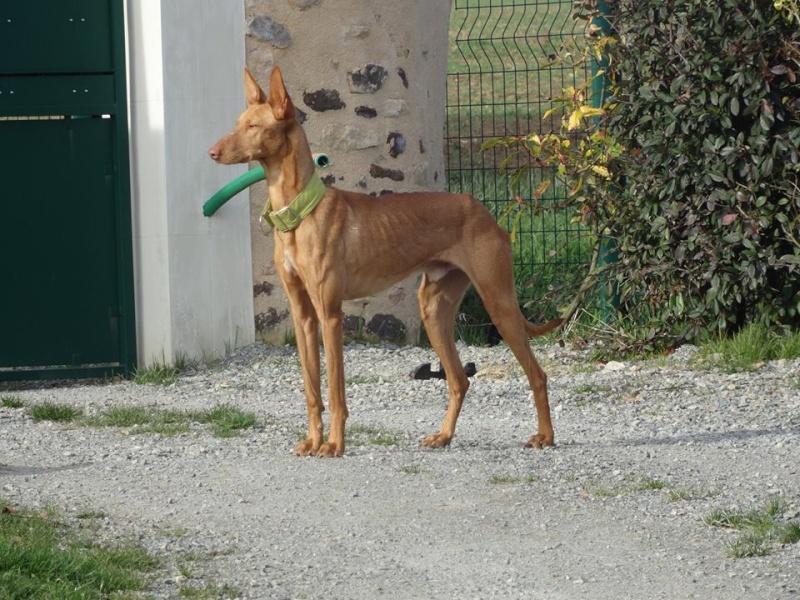 Vicente podenco à l'adoption Scooby France Adopté Vicent16