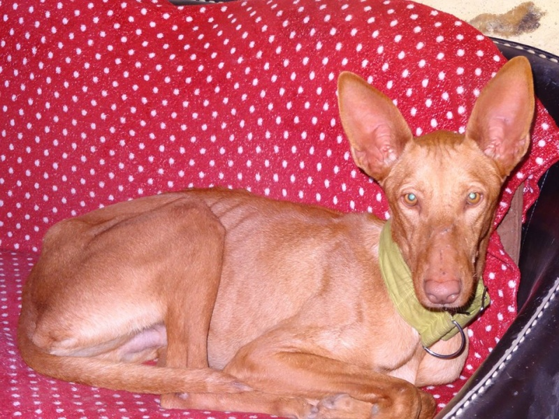 Vicente podenco à l'adoption Scooby France Adopté Vince_10