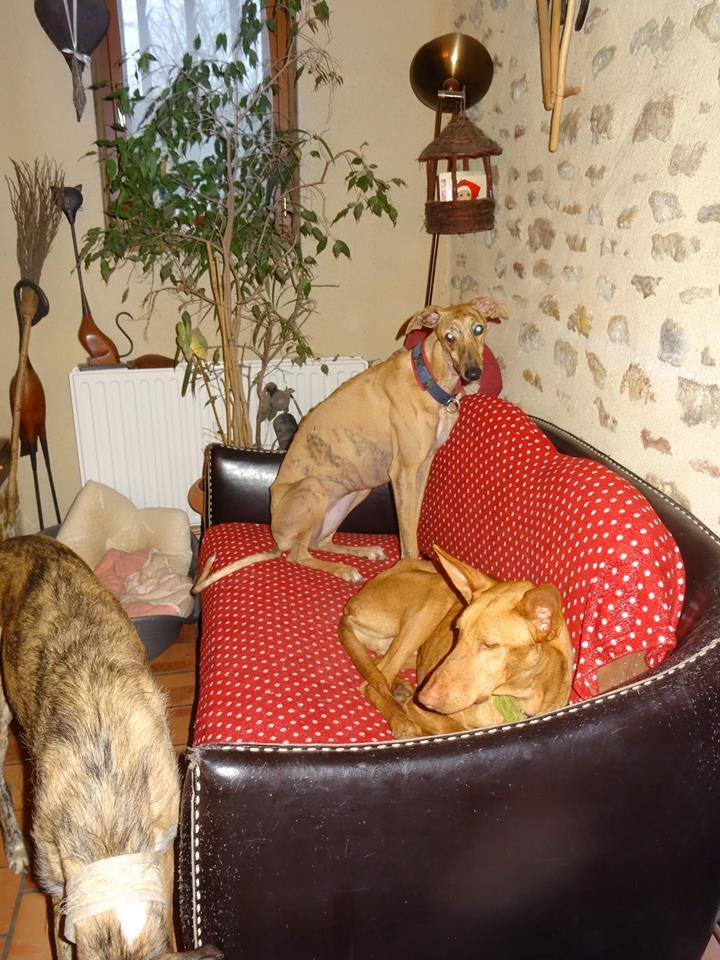 Vicente podenco à l'adoption Scooby France Adopté Vince_11