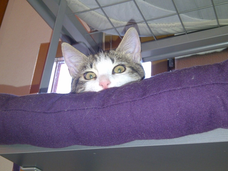 Heiko beau chaton tigré et blanc - BEUVRAGES Img-2010