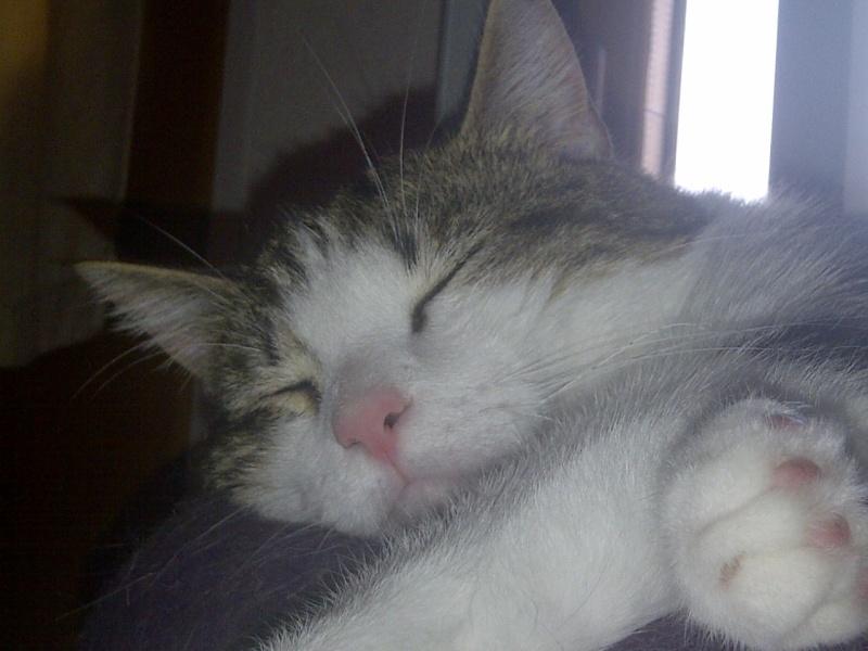 Heiko beau chaton tigré et blanc - BEUVRAGES Img-2013