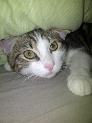 Heiko beau chaton tigré et blanc - BEUVRAGES Img-2015