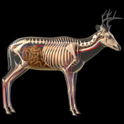 Pour les chasseur a l'arc anatomi de chevreuil Deer1w10