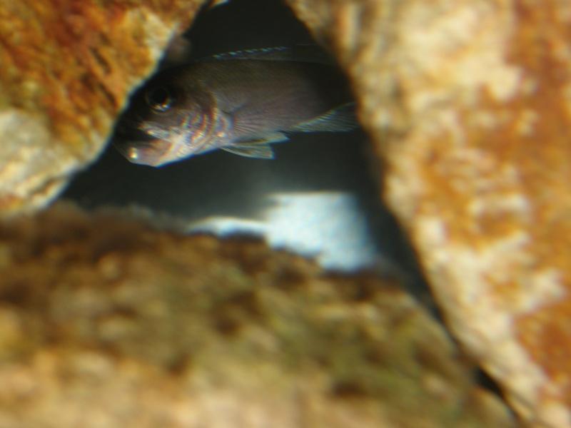 reproduction cyprichromis leptosoma mpulungu P6289314