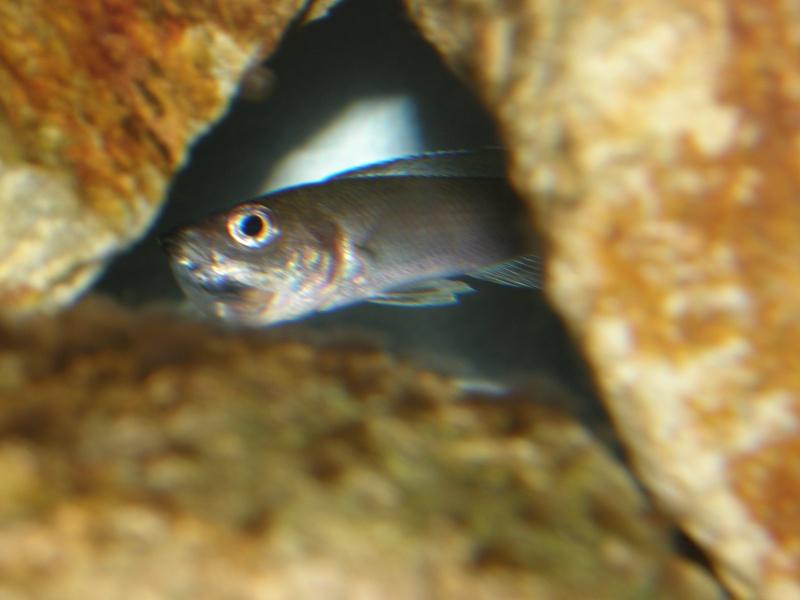 reproduction cyprichromis leptosoma mpulungu P6289315