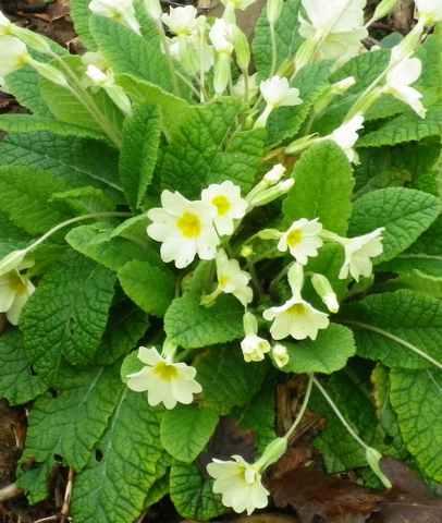 Primula..........aimez-vous les coucous ??? 03032010