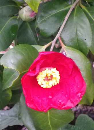 Camellia !!! - Page 7 03032014