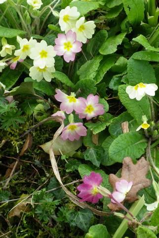 Primula..........aimez-vous les coucous ??? 13032013