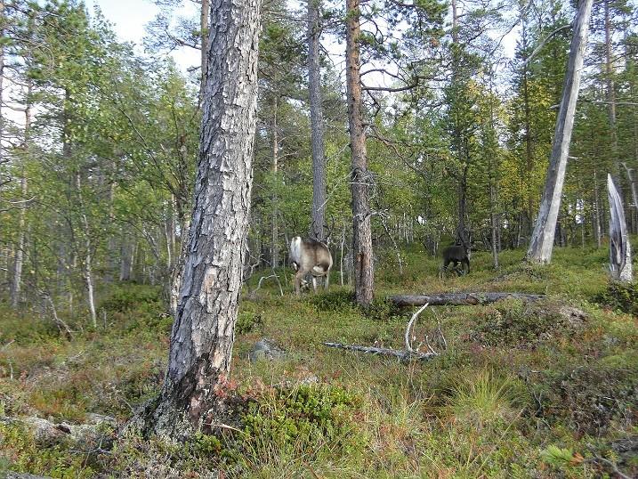 Un peu de Laponie a la periode du Ruska... Renne-11