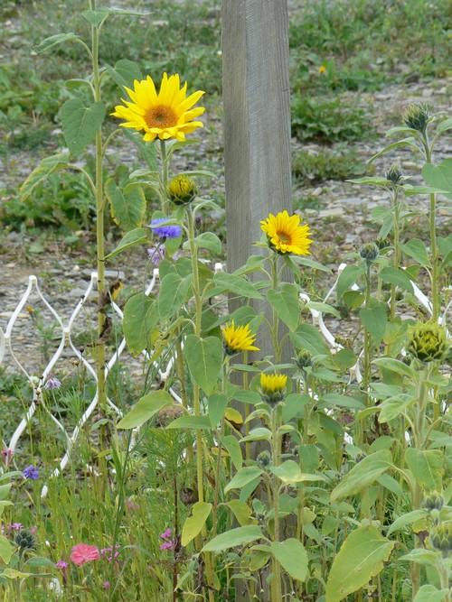 Vais je avoir le temps de les voirs en fleur? P1150027