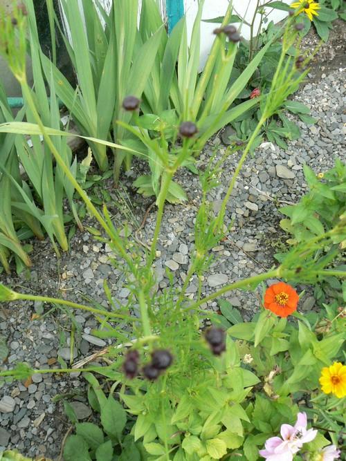 Vais je avoir le temps de les voirs en fleur? P1150113