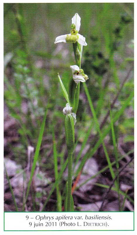 Dernier N° de l'Orchidophile (N°194) Ophrys10
