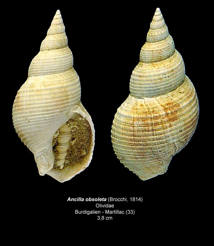 Gastéropodes burdigaliens du S.E.  Ancill11