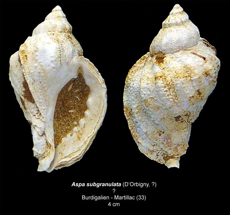 Gastéropodes burdigaliens du S.E.  Aspasu11