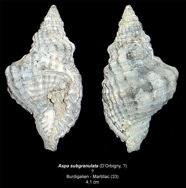 Gastéropodes burdigaliens du S.E.  Aspasu12