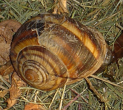 Escargots du Vaucluse Cagoui11