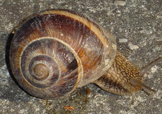 Escargots du Vaucluse Cagoui14