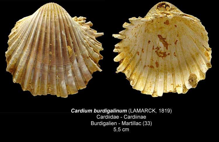 Gastéropodes burdigaliens du S.O. Cardiu10