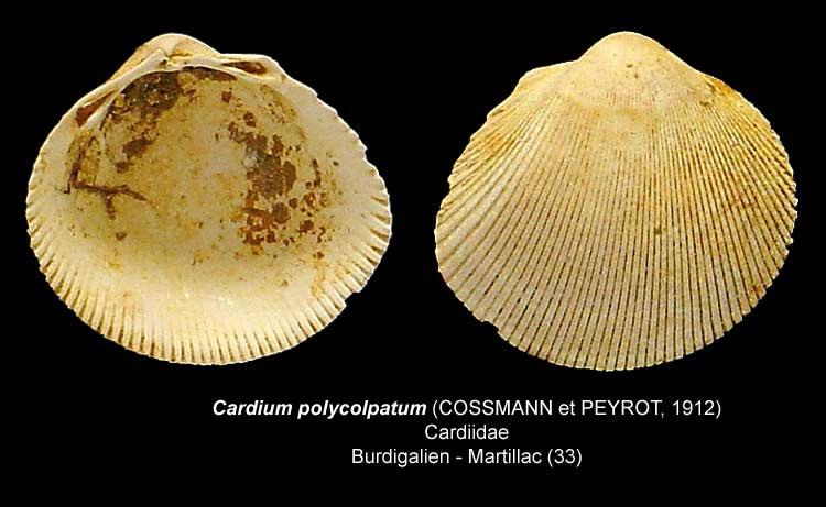Gastéropodes burdigaliens du S.O. Cardiu11