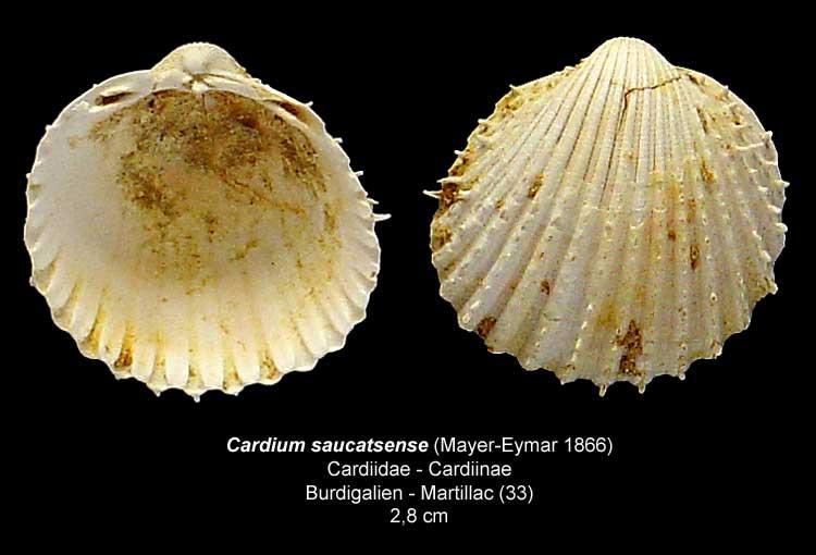 Gastéropodes burdigaliens du S.O. Cardiu12