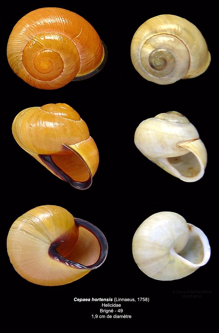 [Cepaea hortensis] Escargot Cepaea11