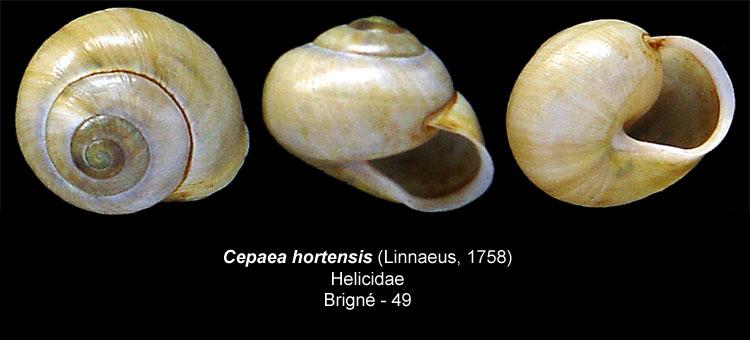 [Cepaea hortensis] Escargot Cepaea12