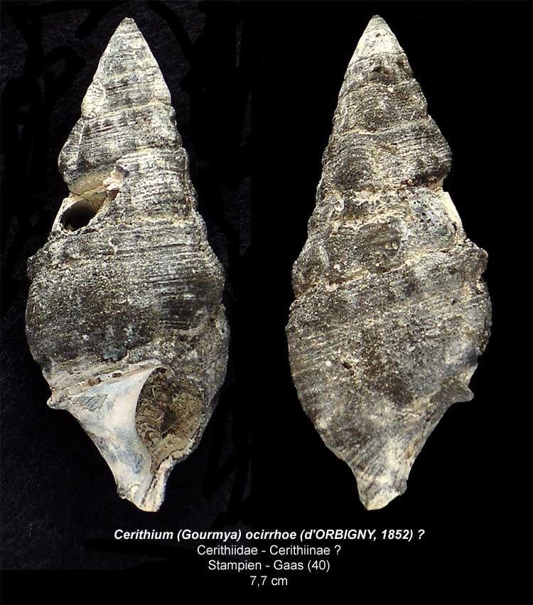 Gastéropodes burdigaliens du S.O. Cerith10