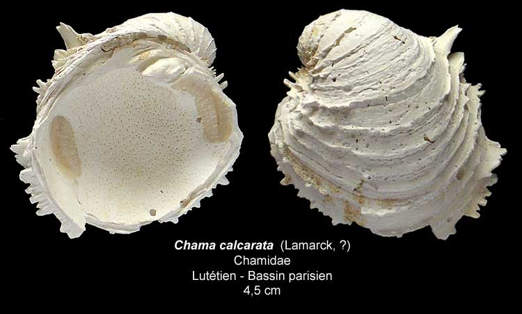 Gastéropodes burdigaliens du S.O. Chamac11