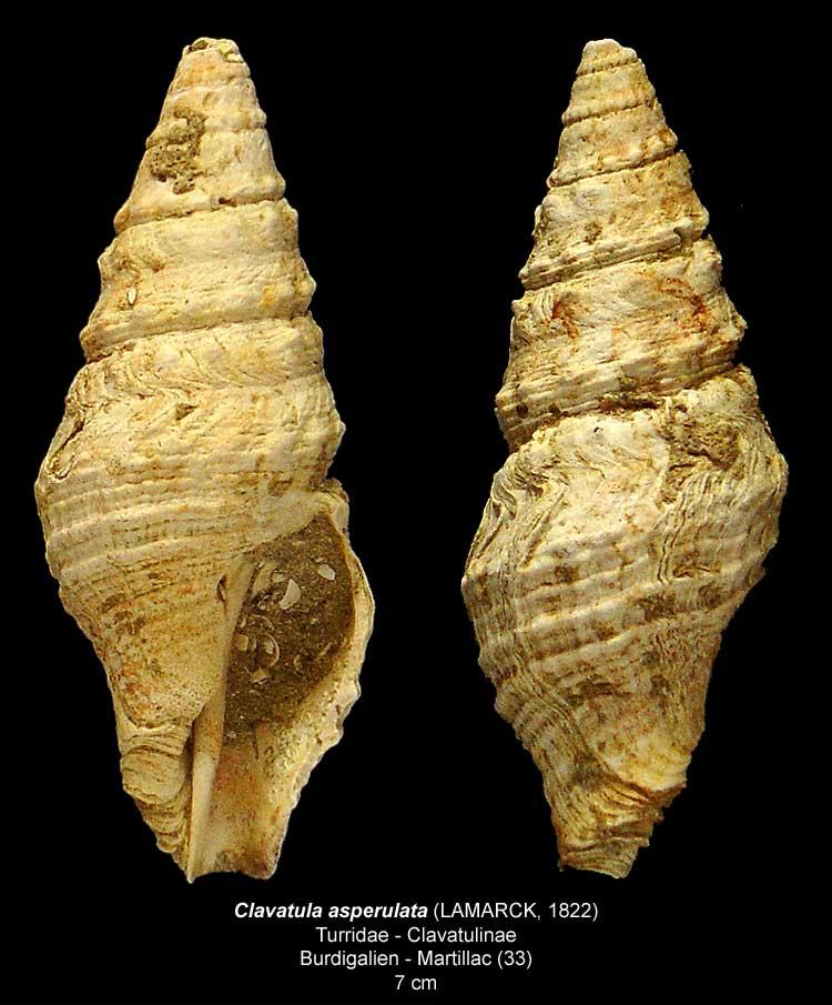 Gastéropodes burdigaliens du S.O. Clavat10
