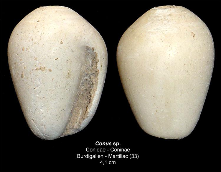 Gastéropodes burdigaliens du S.O. Conus-10