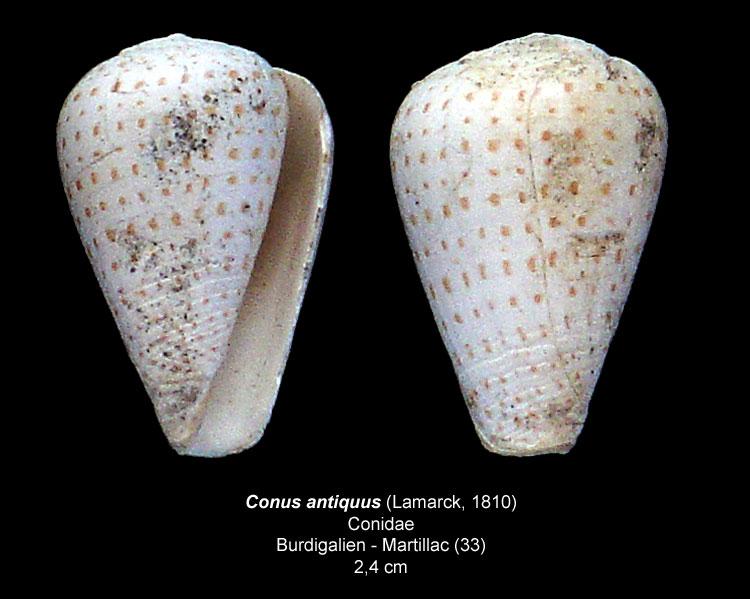 Gastéropodes burdigaliens du S.O. Conusa10