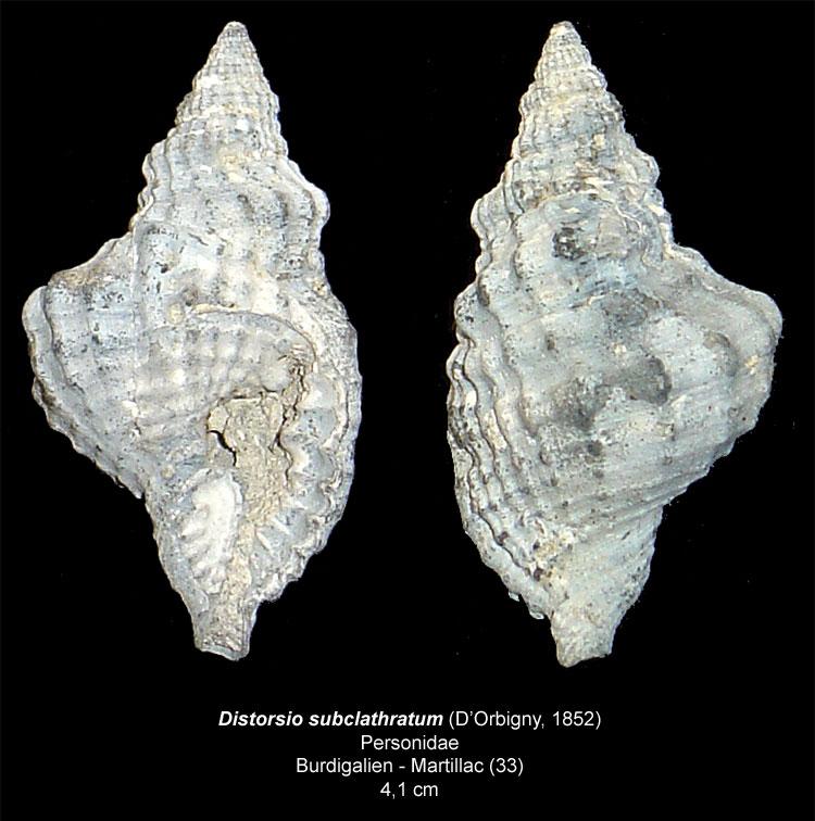 Gastéropodes burdigaliens du S.O. Distor10