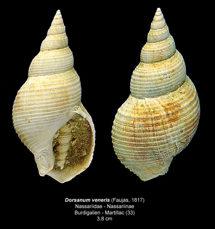 Gastéropodes burdigaliens du S.O. Dorsan10