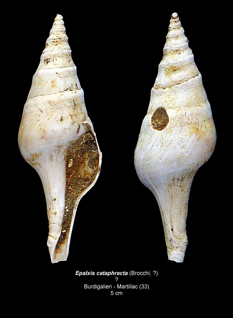 Gastéropodes burdigaliens du S.E.  Epalxi10