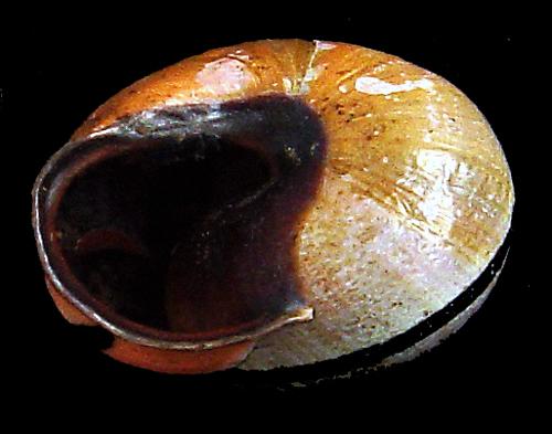 Escargots angevins Escarg15