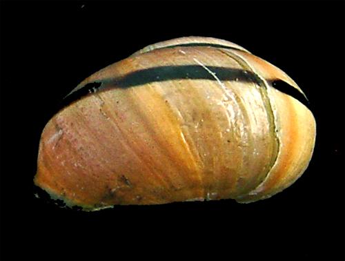 Escargots angevins Escarg17