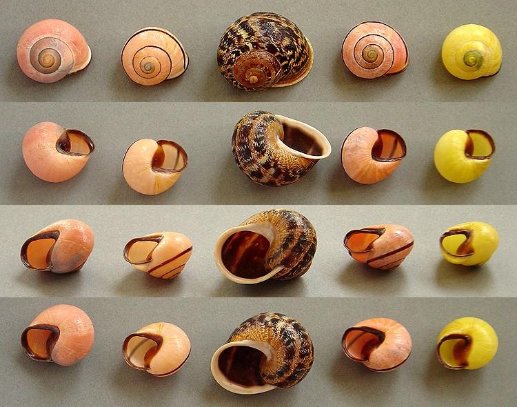 Escargots angevins Escarg18