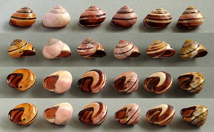 Escargots angevins Escarg20