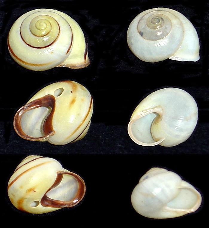 Escargots angevins Escarg25